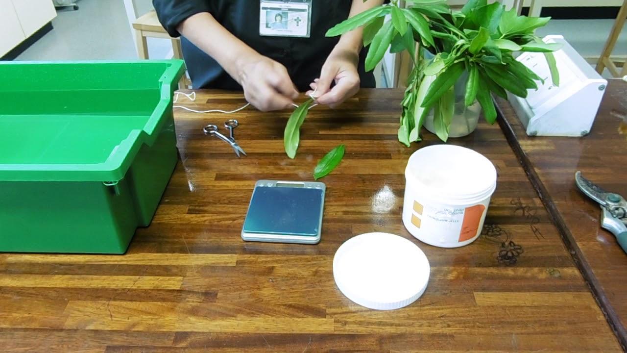 Transpiration Experiments Using Vaseline Youtube