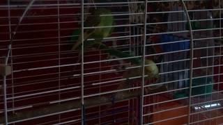 Домашний волнистый попугай /ВОЛНИСТЫЕ ПОПУГАИ ВИДЕО/ Приколы с животными/ Приколы про животных