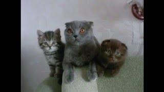 Британская короткошерстная кошка, описание породы.