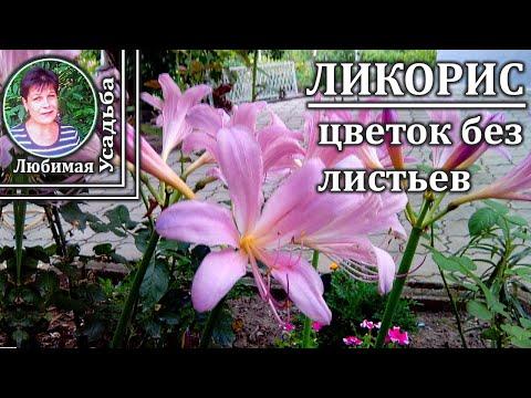 Многолетние цветы для сада  Амарилис Цветок который цветет без листьев