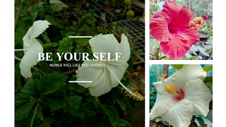 How to care hibiscus plant