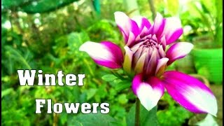 Winter Flowers Care & Tips  | Dahlia  | Petunia | Salvia flower |Chrysanthemum  // Mammal Bonsai