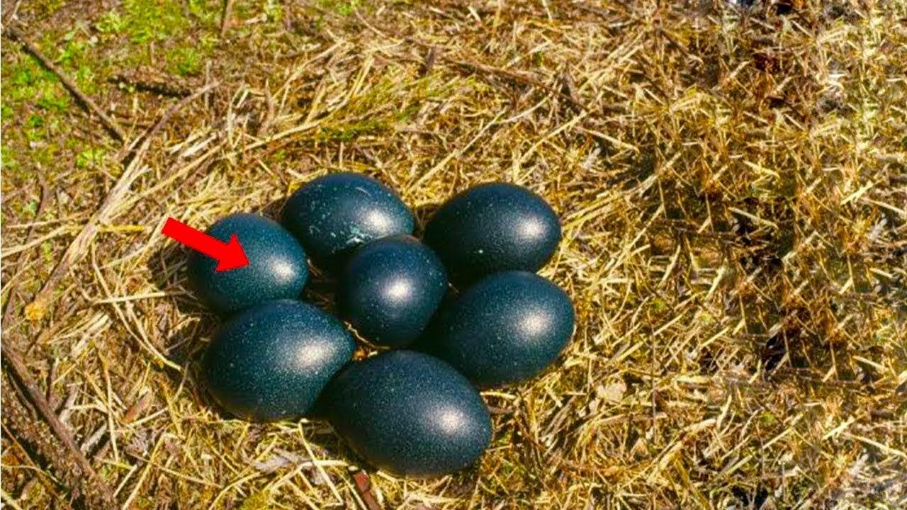 انظر لماذا يهتم المزارعين بهذا البيض الاسود ، لن تصدق ما الذي يخرج منه