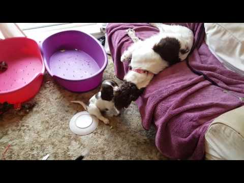Wixy and her 8 week old puppies x x  ESS English Springer Spaniel puppies