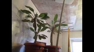 Хрущёвка, ремонт кухни. Потолок, панели ПВХ–2.