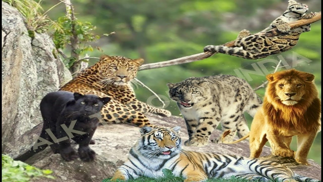 Cats Of India 15 Species Of Cat Family Found In The Indian Subcontinent Youtube