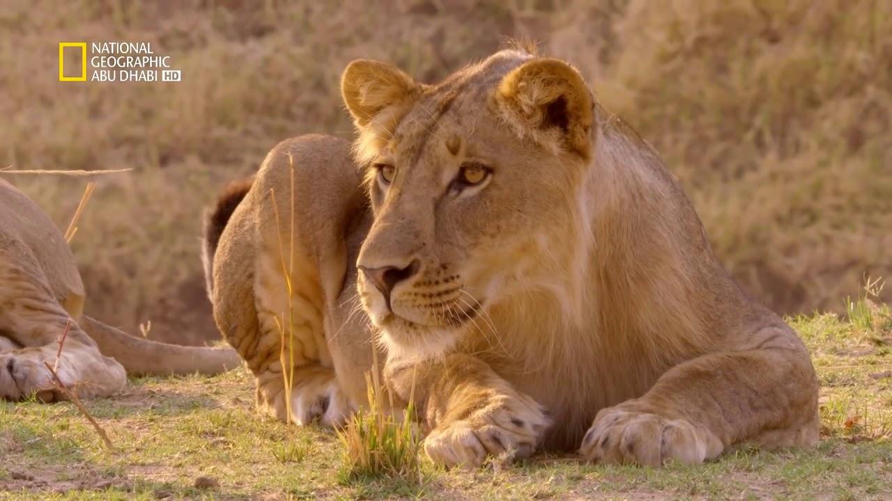 وثائقي حيوانات أفريقيا المفترسة توأم الأسود  ناشونال جيوغرافيك أبوظبي HD