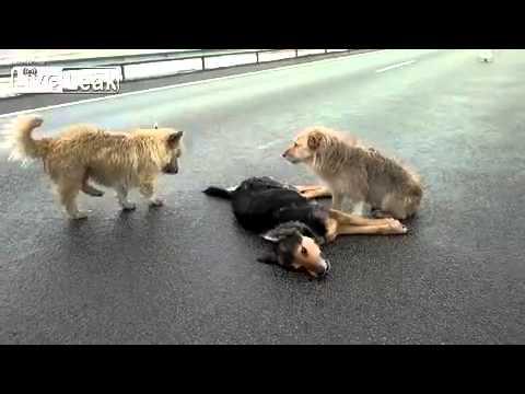 Dogs wont leave dead friend