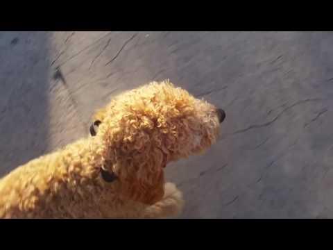 Labradoodle Off Leash Heeling through a Crowd!   Georgia Dog Trainers