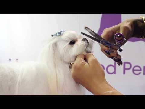 Asian Fusion Style Pet Trim by dog groomer Laura Jane Taylor thumbnail