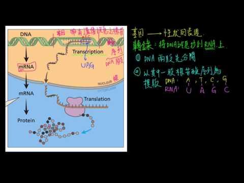 2-3觀念05從基因到性狀 分子生物學的中心法則