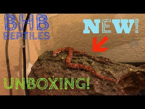 Unboxing a Corn Snake from BHB Reptiles! Sunkissed 2018