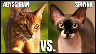 Abyssinian Cat VS. Sphynx Cat