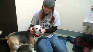 Big On Beagles Rescue - Urgent! Foster Home Needed!