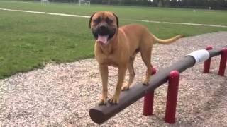 Bowser The Bullmastiff Crossing A Balance Beam