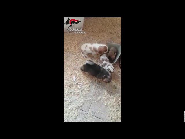"""Operazione """"Spank"""" per contrastare il traffico internazionale di cuccioli di cane"""