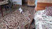 Кошки и котята меконгского бобтейла. На сервисе объявлений olx. Ua украина легко и быстро можно купить котенка породы меконгский бобтейл.