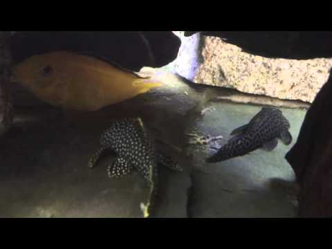 Gold Nugget, Spotted Rubber Nose, Royal, And A Common Pleco