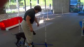 "German Shorthaired Pointer ""twiggy"" At Puppy Agility Graduation"
