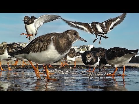 Videos for Cats to Watch - Turnstone Birds