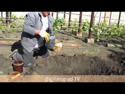 Как правильно посадить саженцы винограда