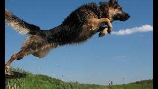 ► Смелый прыжок овчарки за дельфинами || Приколы про собак
