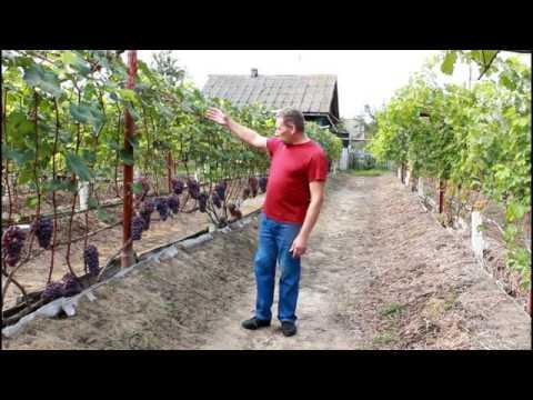 Основные ошибки при выращивании винограда.