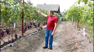 Основные ошибки при выращивании винограда .