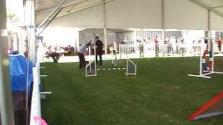 Miniature Schnauzer Pippa Novice Agility 2 Perth Royal Show 2013