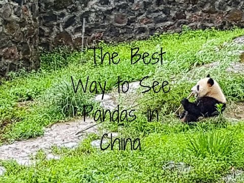 The Best Way to See Pandas in Chengdu