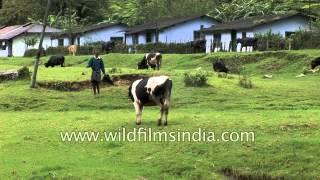 Herd of cattle graze on beautiful meadow in Munnar, Kerala