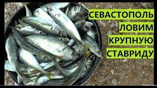 Крым. В Севастополе косяки крупной ставриды