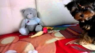 видео Рвота у собаки, собаку рвет, что делать? Советы ветеринара