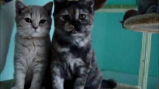 ПРОДАЖА Британская кошка Яшма Окрас дымный черепаховый. Очень нарядная дама в камуфляже. )))