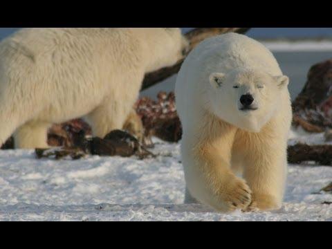 A Guide To Polar Bears