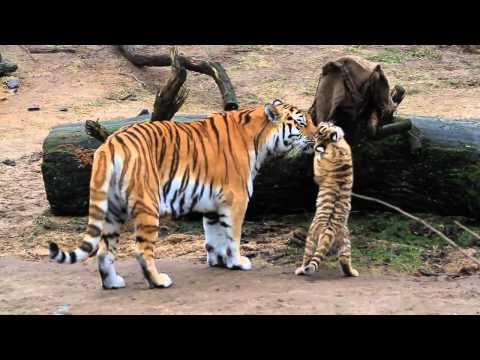 Thumbnail: HD Tiger Babys - Cute Tigerbabys - Zoo Cologne - Amurtiger - cute baby animals