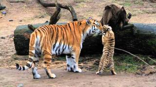 HD Tiger Babys - Cute Tigerbabys - Zoo Cologne - Amurtiger - cute baby animals