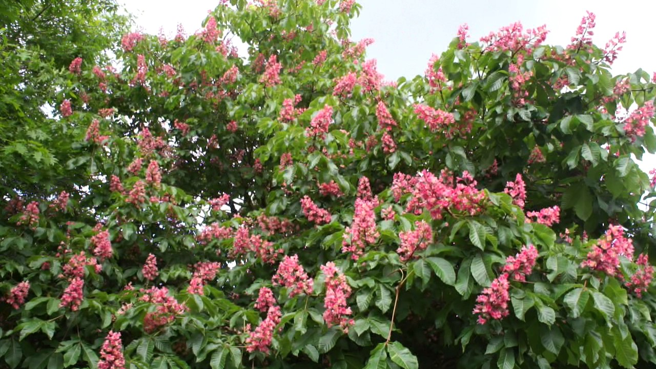 Educational Videos On Nature Red Horse Chestnut Flowers May 2017