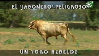 Toro jabonero muy peligroso, el toro rebelde de Prieto de la Cal | Toros desde Andalucía