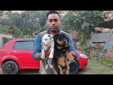 German Shepherd, American Bully and Rottweiler 9728011133, 7404011155- Doggyz World