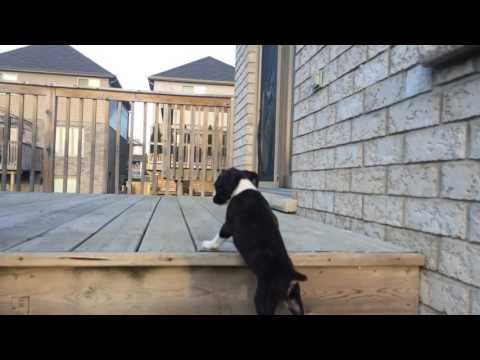 Cute Boxer Puppy Mastering the stairs