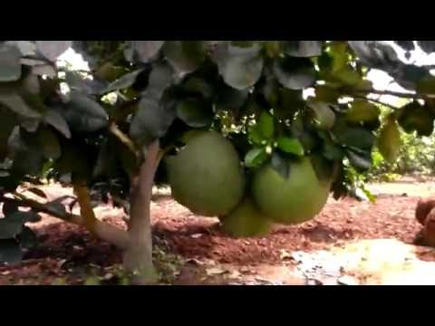 Best Green rural garden you should know | Explore an exciting Grapefruit farm.