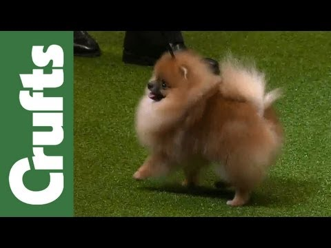 Group Judging (Toy) and Presentation - Crufts 2012