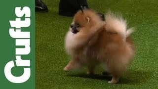 Group Judging (Toy) and Presentation  Crufts 2012