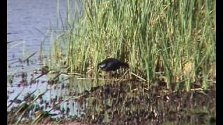 Pollo sultano - Purple gallinule - Calamon comun; Spain