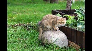 Британский кот Lorien Elf SunRay черного золотого затушеванного окраса BRI ny 11