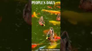 A flock of mallards paddle and play with koi fish, forming a vibrant scenery in the autumn.