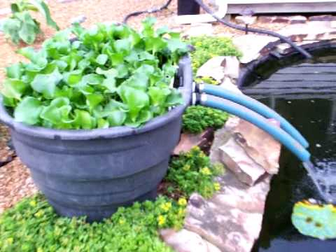 Kcvers how to have clear koi pond water garden part 1 for Keeping ponds clean without filter
