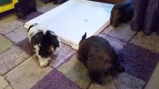 Akc Shih Tzu Puppies Available In Lyndonville, Ny