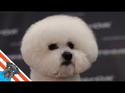 Bichon frise summer cut  How to make it easy?